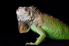 Iguane sur le fond noir Photo libre de droits