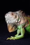 Iguane sur le fond noir Photo stock
