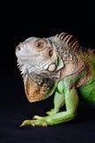 Iguane sur le fond noir Photo stock