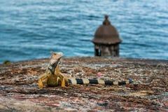 Iguane sur le mur en pierre soulevant la tête et regarder Images stock