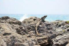 Iguane sur les roches image libre de droits