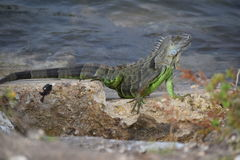 Iguane sur les roches Photographie stock