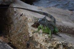 Iguane sur les roches Photographie stock libre de droits