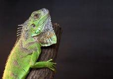 Iguane sur un arbre Photos libres de droits