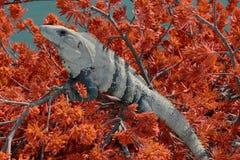 Iguane sur un arbre avec les feuilles rouges images libres de droits