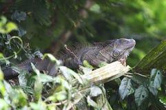 Iguane sur un arbre en Costa Rica Photo libre de droits