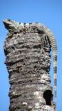 Iguane sur un poteau au Mexique Photographie stock