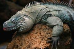 Iguane sur une roche photo stock