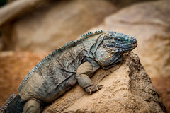 Iguane sur une roche Photos stock