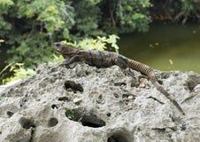 Iguane sur une roche avec le cenote sacré à l'arrière-plan photos stock