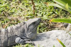 Iguane in Tulum, Messico fotografie stock