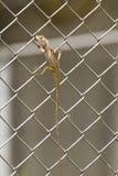 Iguane in una gabbia Fotografia Stock Libera da Diritti