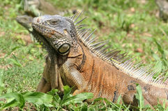 Iguane variopinte Fotografia Stock Libera da Diritti