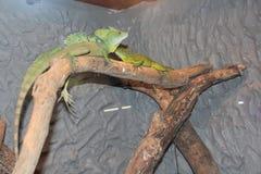 Iguane verdi Immagini Stock Libere da Diritti