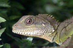 Iguane vert Photos stock