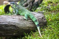 Iguane vert Image libre de droits