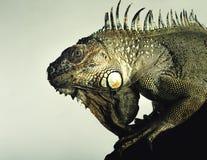 Iguane vert Images libres de droits