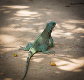 Iguane vert Photo stock
