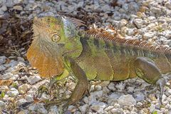 Iguane vert avec la hampe prolongée photo libre de droits