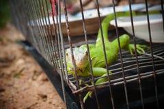 Iguane vert photo libre de droits