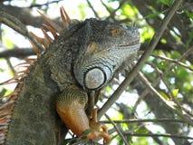 Iguane vert d'iguane d'iguane Images stock