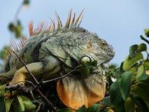 Iguane vert d'iguane d'iguane Photographie stock libre de droits