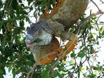 Iguane vert d'iguane d'iguane Photo libre de droits