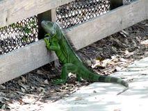 Iguane vert d'iguane ou d'iguane Image stock