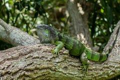 Iguane vert dans Lounging sur la branche d'arbre sur Sunny Day photos stock