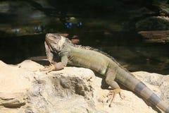Iguane vert/iguane commun Image stock