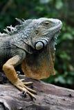 Iguane vert (iguane d'iguane) Photographie stock