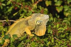 Iguane vert (iguane d'iguane) photographie stock libre de droits