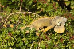 Iguane vert (iguane d'iguane) Images stock