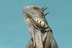 Iguane vert (iguane d'iguane) - Bonaire Image stock