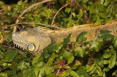 Iguane vert (iguane d'iguane) dans l'arbre Photographie stock libre de droits