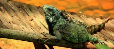 Iguane vert impressionnant sur l'arbre Photographie stock