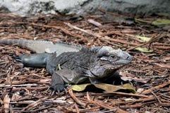 Iguane vert jetant la peau image libre de droits