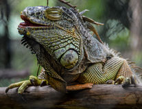 Iguane vert riant Photographie stock