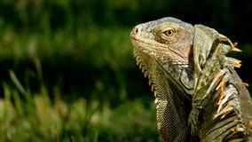 Iguane vert semblant vigilant dans l'herbe Image stock