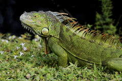 Iguane vert sur l'herbe Photos stock