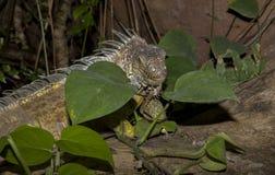 Iguane vert sur les roches Images libres de droits