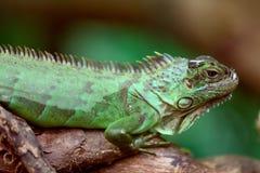 Iguane vert sur un arbre Photo libre de droits