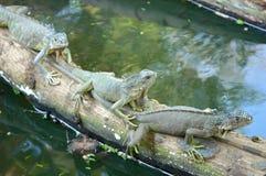 Iguanes Photographie stock libre de droits