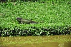 iguanes Photos libres de droits