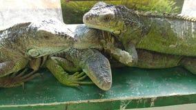iguanes Image libre de droits