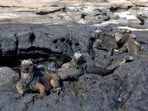 Iguanes dans des îles de Galapagos Photographie stock libre de droits