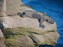 Iguanes dans des îles de Galapagos Photo stock