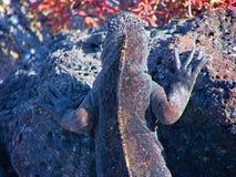 Iguanes dans des îles de Galapagos Image stock
