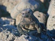 Iguanes dans des îles de Galapagos Image libre de droits