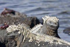 Iguanes marins image stock